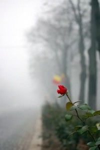 Rose-on-side-of-a-road-with-fog935